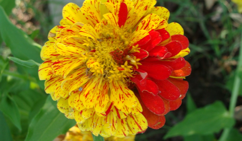 Peppermint Zinnia
